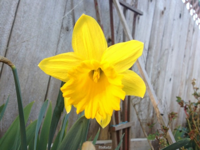 Yellow Daffodil | maegal.blogspot.com