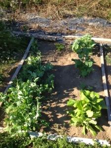 growing vegetables  | maegal.blogspot.com