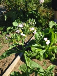 flowering rashish  | maegal.blogspot.com